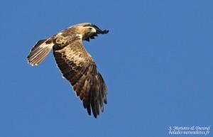 Aigle botté en migration, Tarifa
