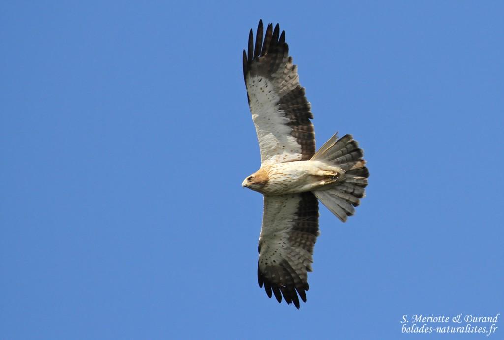 Aigle botté, Détroit de Gibraltar