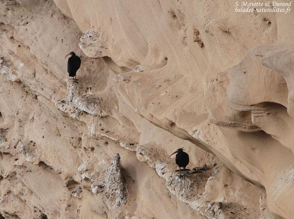 Ibis chauves, Maroc