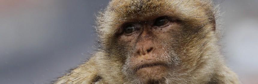 Macaque de Barbarie, Magot, Rocher de Gibraltar