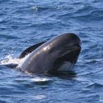 Espagne : Sortie en mer à Tarifa ou le Festival de Globicéphale