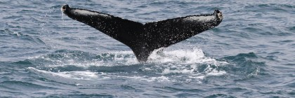 Baleine à bosse, Dalvik, Islande 2016