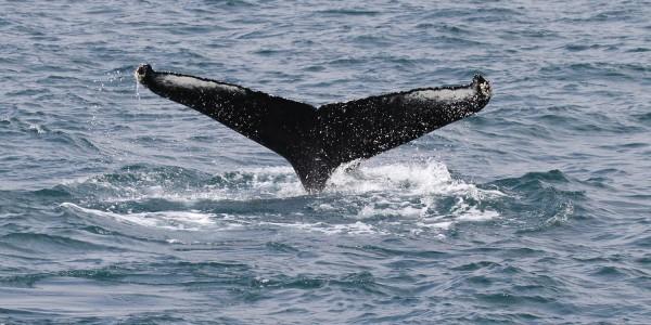 Islande : L'Eyjafjördur, les baleines de Dalvik