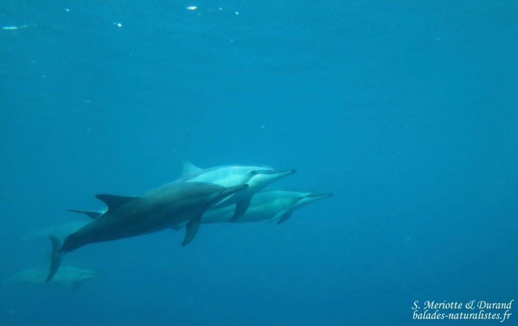 Dauphins à long bec, Baie de Tamarin, Maurice