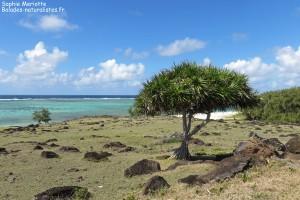 Vacoas sur l'île Rodrigues