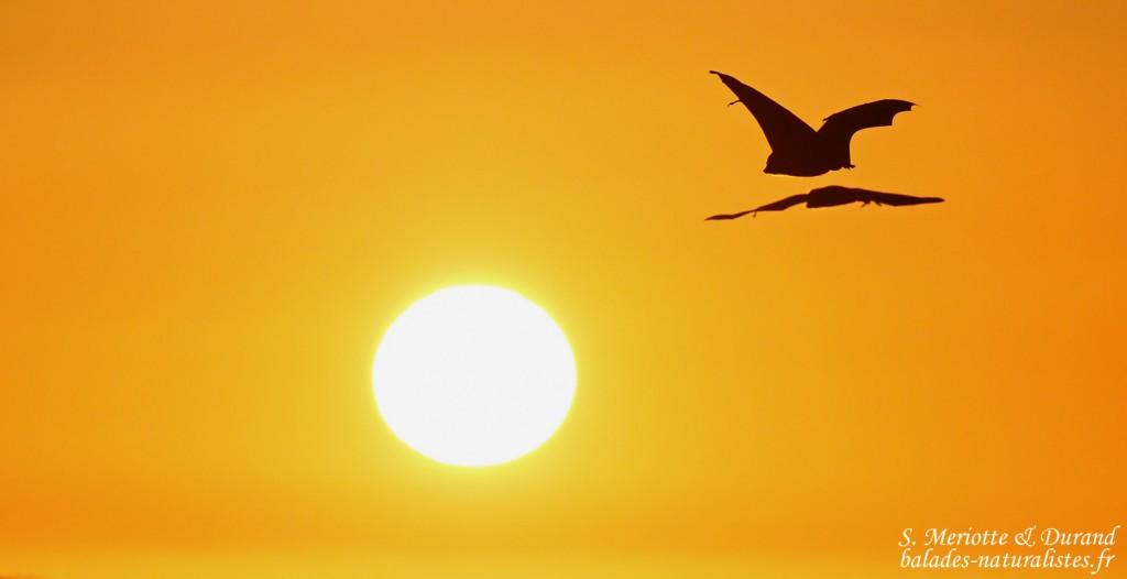Roussettes noires dans le soleil couchant, Gorges de Rivière noire, Ile Maurice