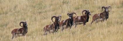 Mouflons, Chemin de ronde de Chaudun