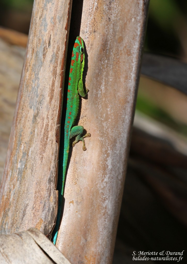 Bluetail Day Gecko (Phelsuma cepediana)