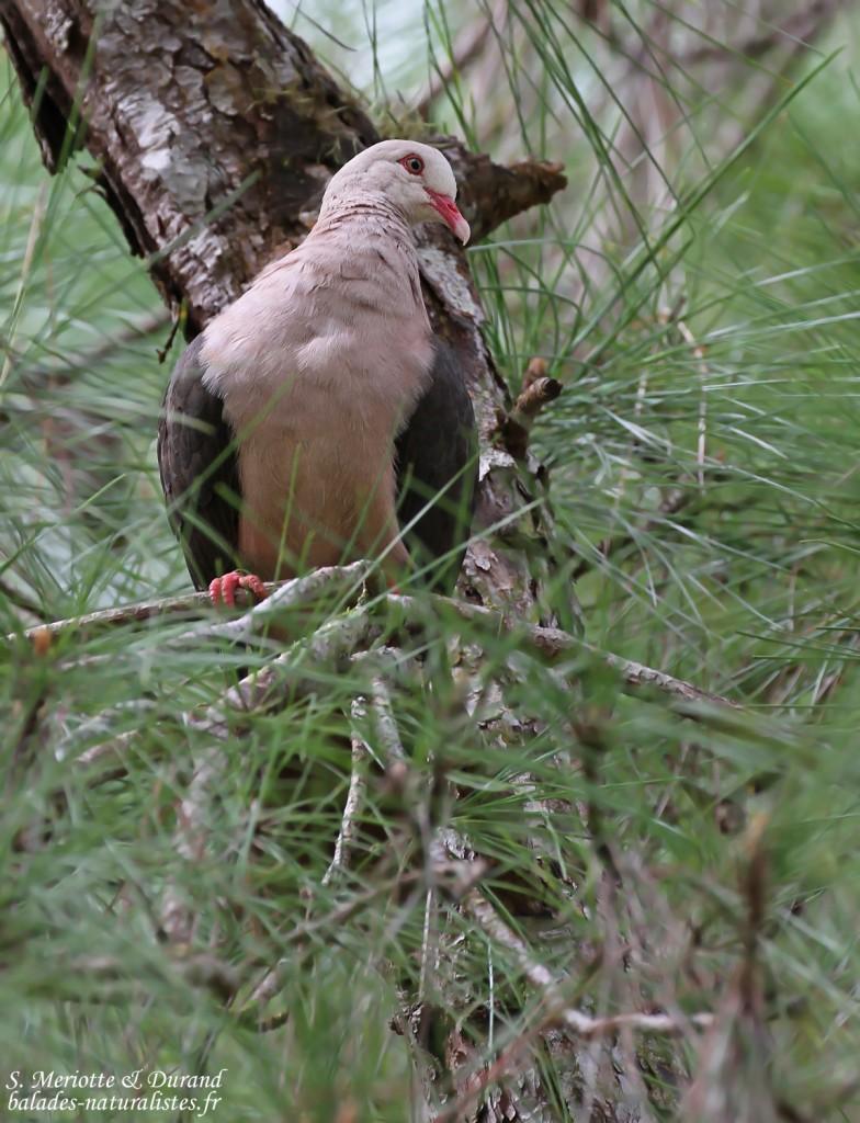Pigeon rose à Pétrin