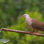 Les oiseaux endémiques de Maurice : Pétrin et la Macchabée trail