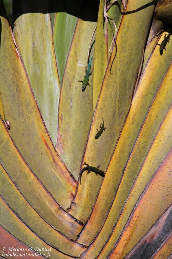Bluetail Day Gecko (Phelsuma cepediana) sur un arbre du voyageur