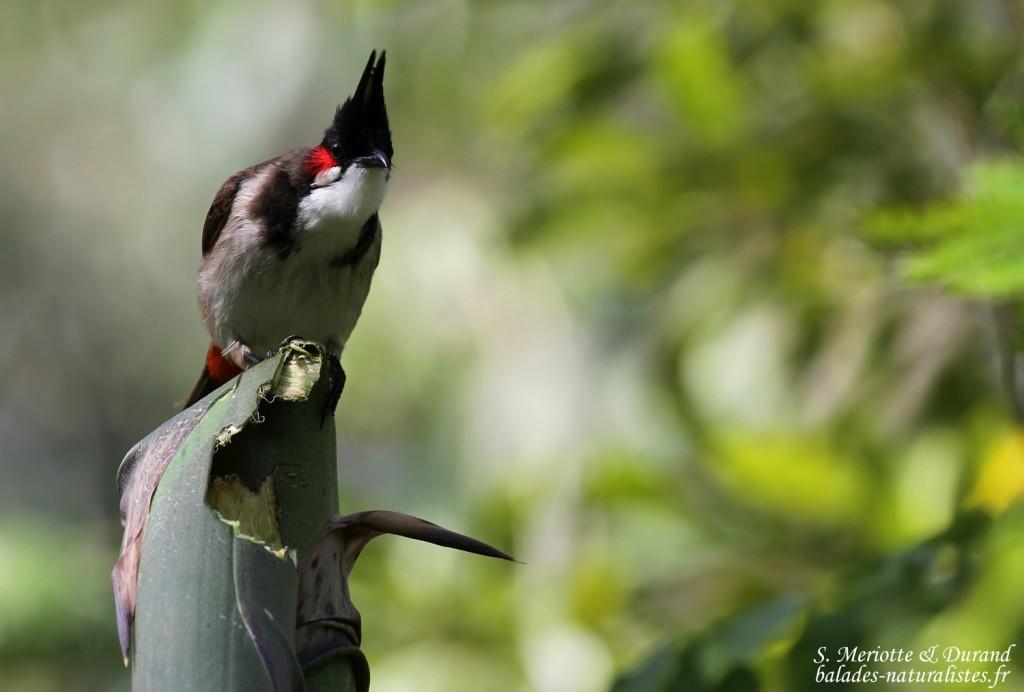 Bulbul orphée, parc national de Bras d'eau