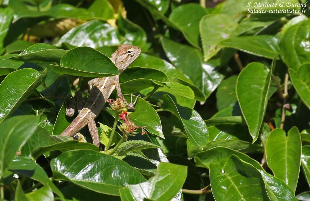 Agame versicolore, parc national de Bras d'eau