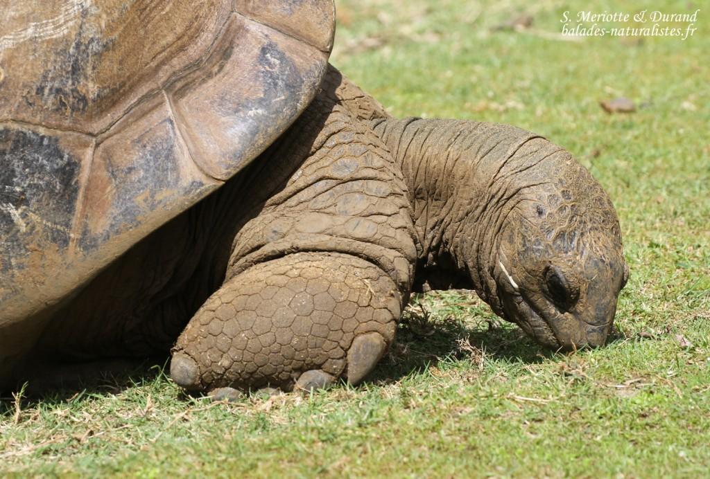 Tortue d'Aldabra, Jardin botanique de Pamplemousses
