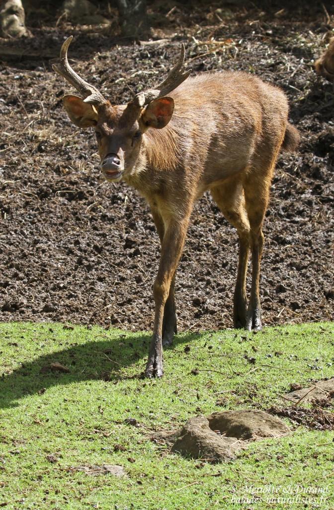 Cerf rusa, cervus timorensis, Jardin botanique de Pamplemousses