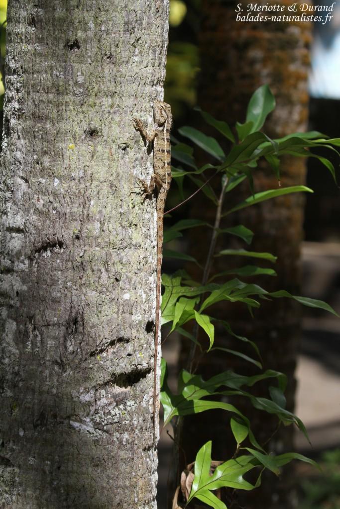 Agame versicolore, Jardin botanique de Pamplemousses