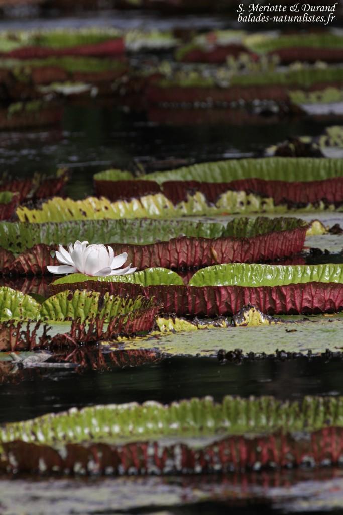 Nénuphars, Jardin botanique de Pamplemousses