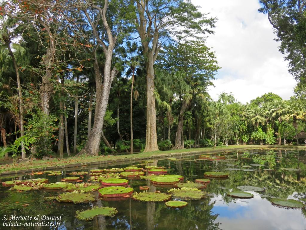 Bassin aux nénuphars, Jardin botanique de Pamplemousses