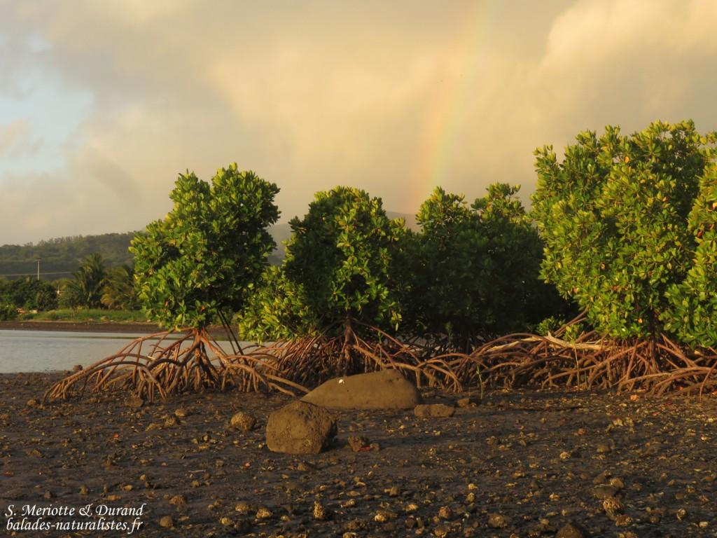Les mangroves près de Case noyale