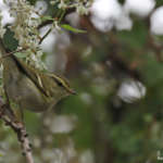 Pouillot à grands sourcils en Provence – Phylloscopus inornatus – Yellow-browed Warbler