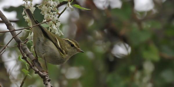 Tombée de Pouillot à grands sourcils en Provence – Phylloscopus inornatus – Yellow-browed Warbler