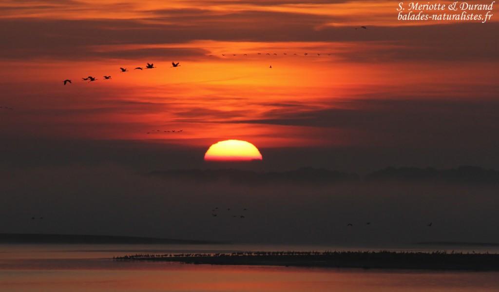 Grues dans le soleil levant, Lac du Der
