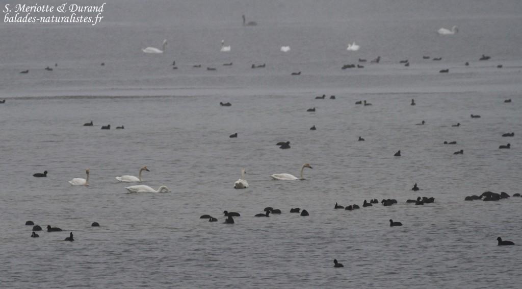 Cygnes de Bewick dans la brume du Lac d'Amance