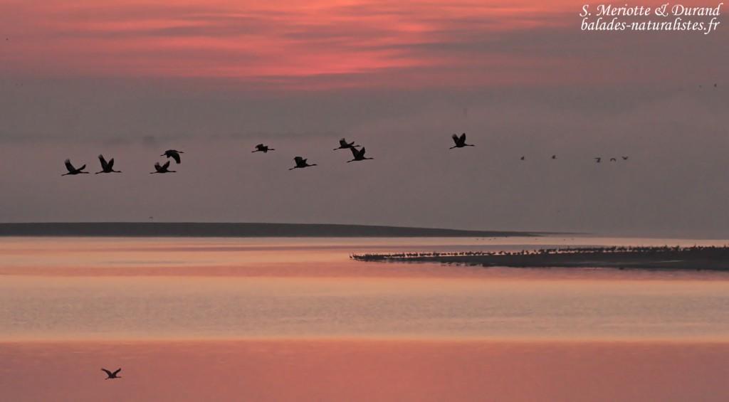 Envol de Grues dans la lumière rosée du matin