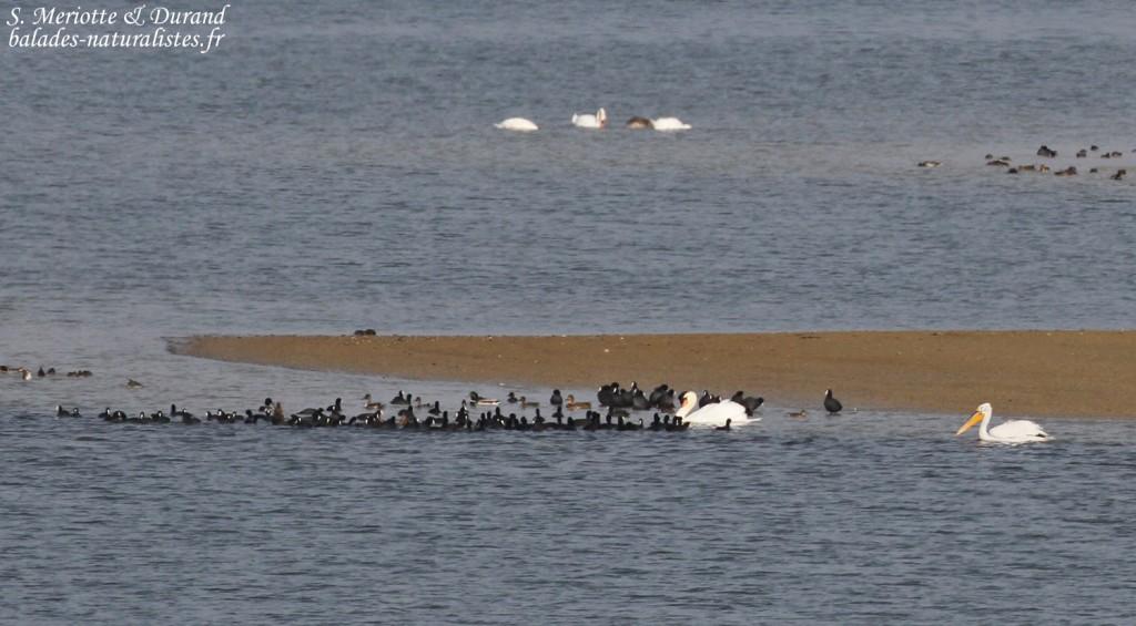 Pélican frisé, Lac du Der
