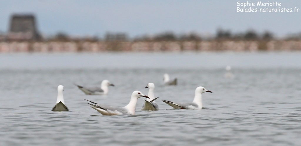 Goélands railleurs sur l'étang du Fangassier, Camargue mai 2017