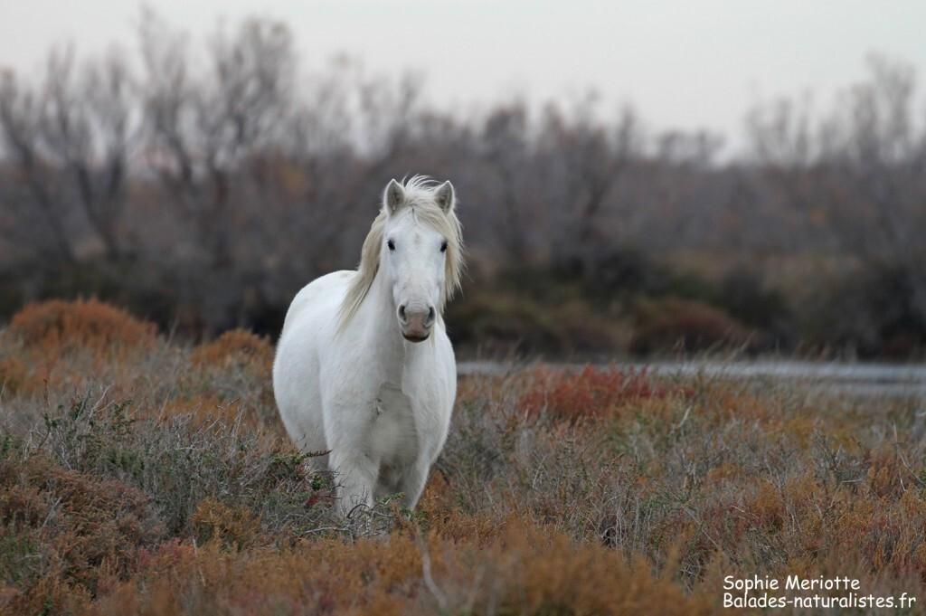 Cheval de Camargue le long de la piste de Beauduc