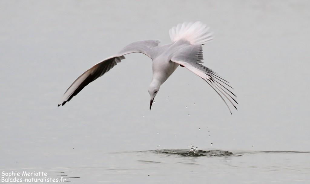 Goéland railleur en pêche sur l'étang du Vaccarès, Camargue