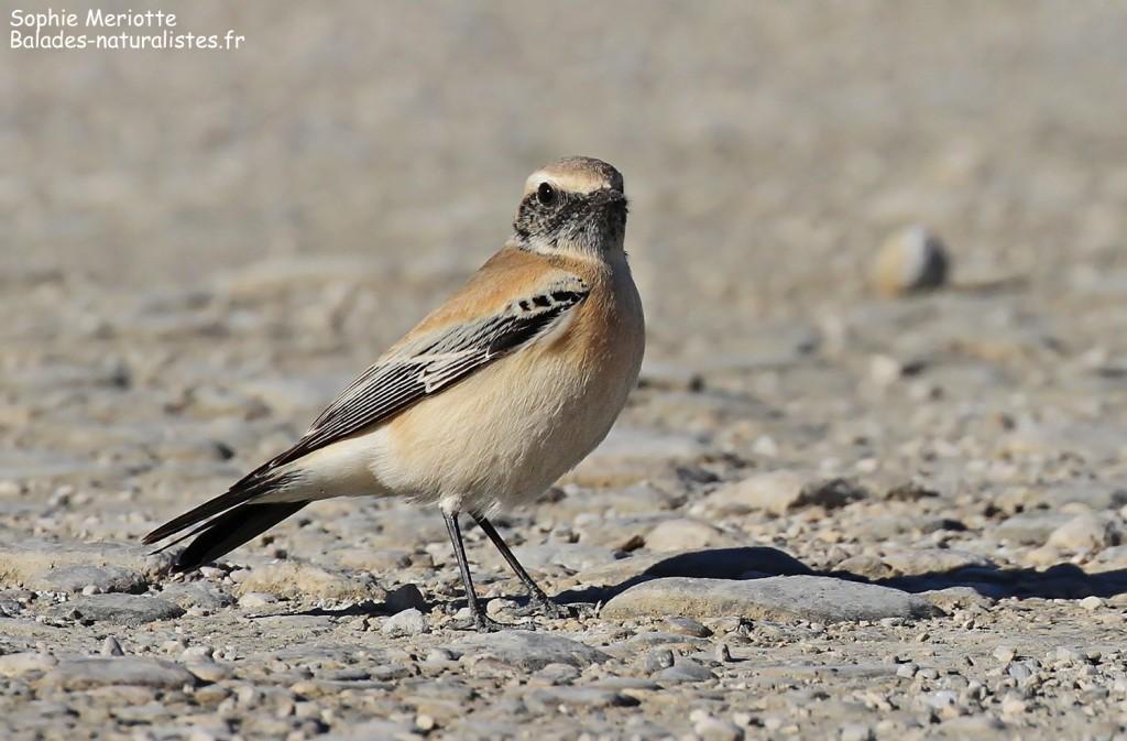 Traquet du désert, Enfores de la Vignolle, décembre 2017