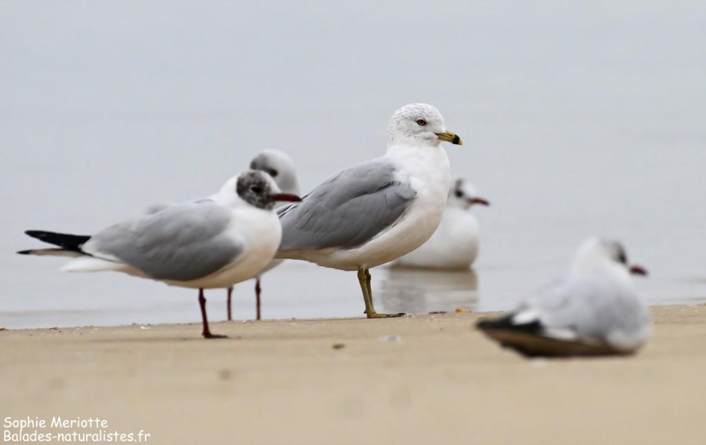 Goéland à bec cerclé et mouettes rieuses sur une plage d'Arcachon