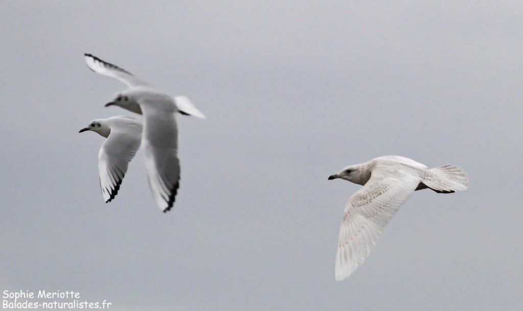 Goéland à ailes blanches, Port de Larros, Bassin d'Arcachon