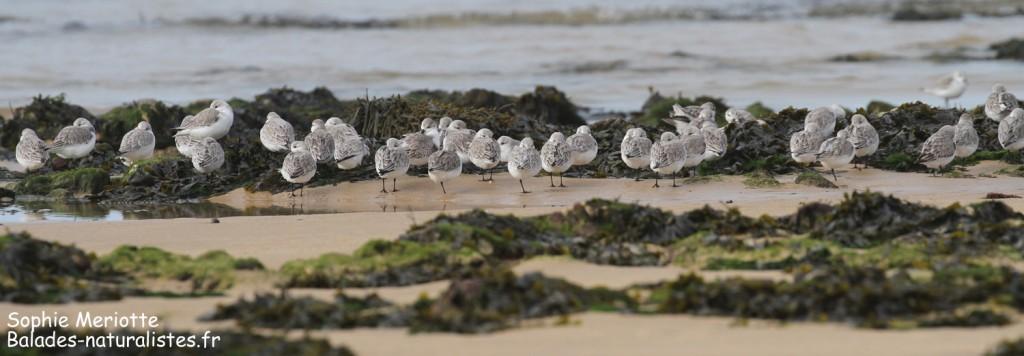 Groupe de Bécasseaux sanderlings, Ile d'Oléron