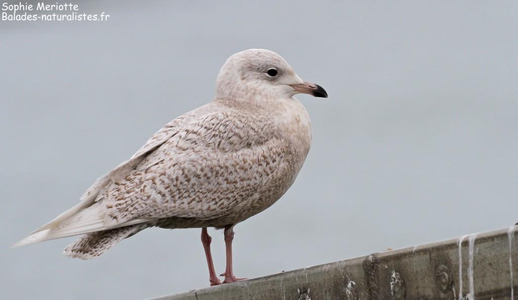 Goéland à ailes blanches, port de la Cotinière, Ile d'Oléron