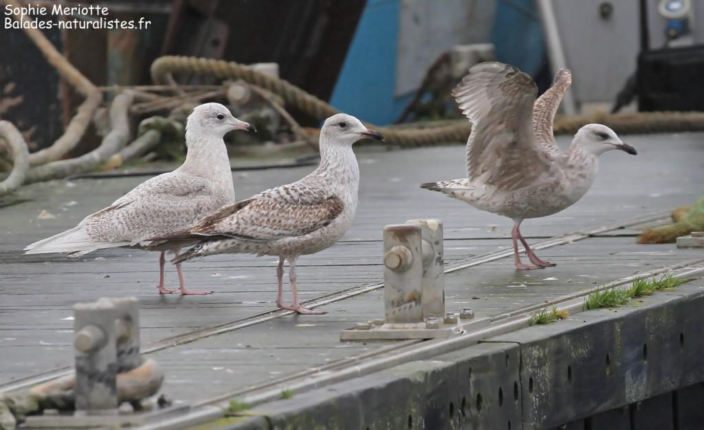 Goéland à ailes blanches et Goélands argentés, port de la Cotinière, Ile d'Oléron