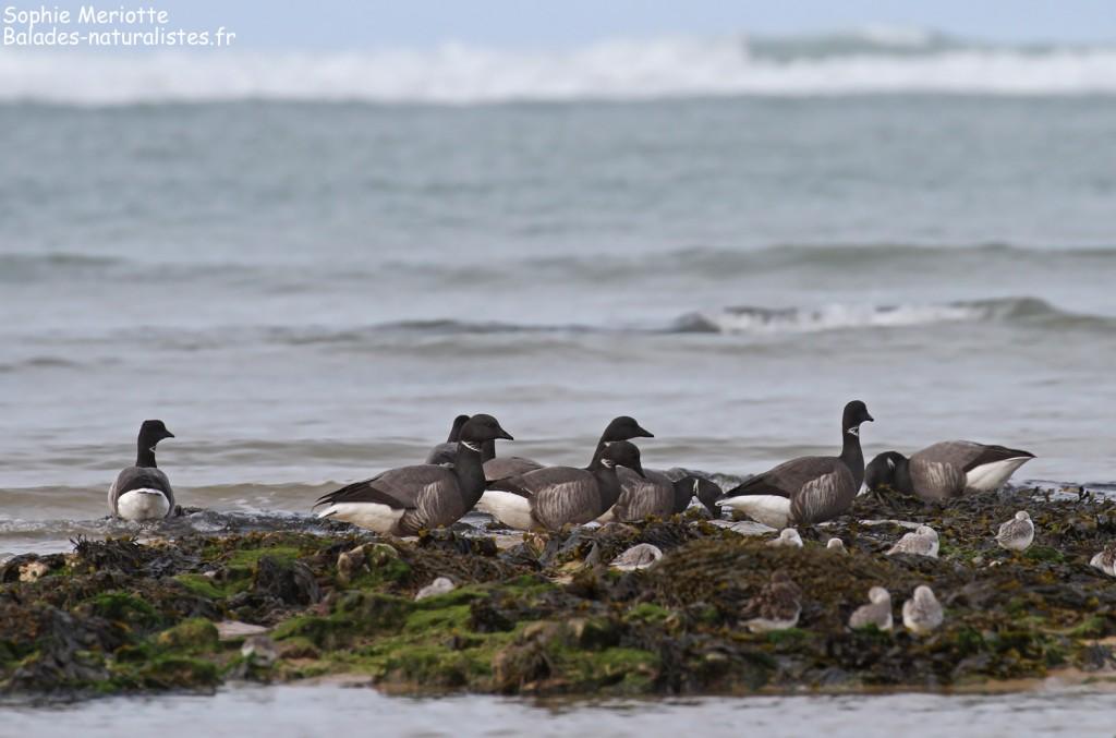 Bernaches cravants et Bécasseaux sanderlings, Ile d'Oléron