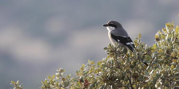 Pie-grièche méridionale – Lanius meridionalis – Southern grey shrike