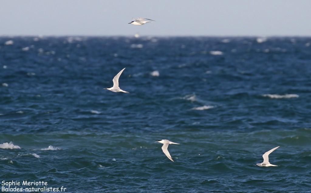 Sternes caugeks en migration le long de la plage de Canet-en-Roussillon