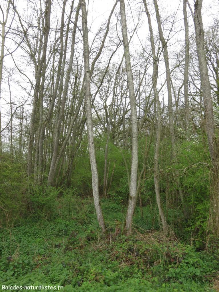 Forêt humide dans la Dombes
