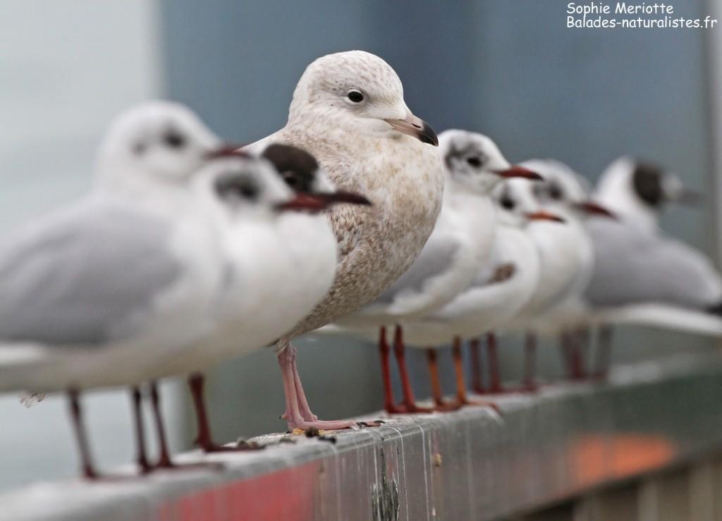 Goéland à ailes blanches et Mouettes rieuses dans le port de la Cotinière