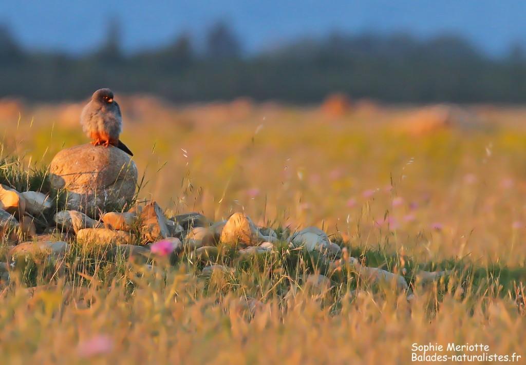 Faucon kobez en plaine de Crau