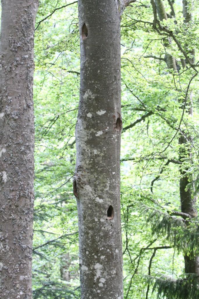 Loges de Pic noir dans les forêts près du col de la Croix haute
