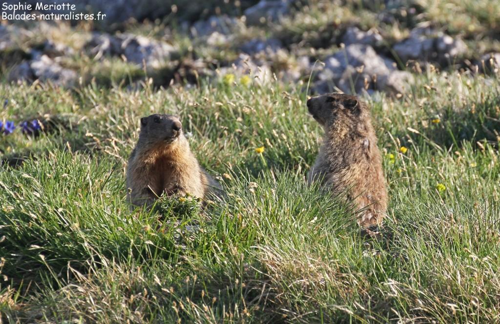 Marmottes des Alpes