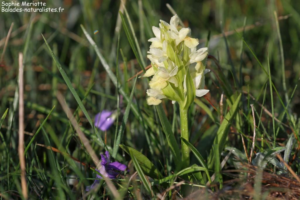 Orchis sureau, col de Jajène
