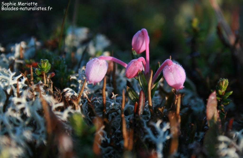 Phyllodoce bleuâtre, Parc national de l'Hardangervidda