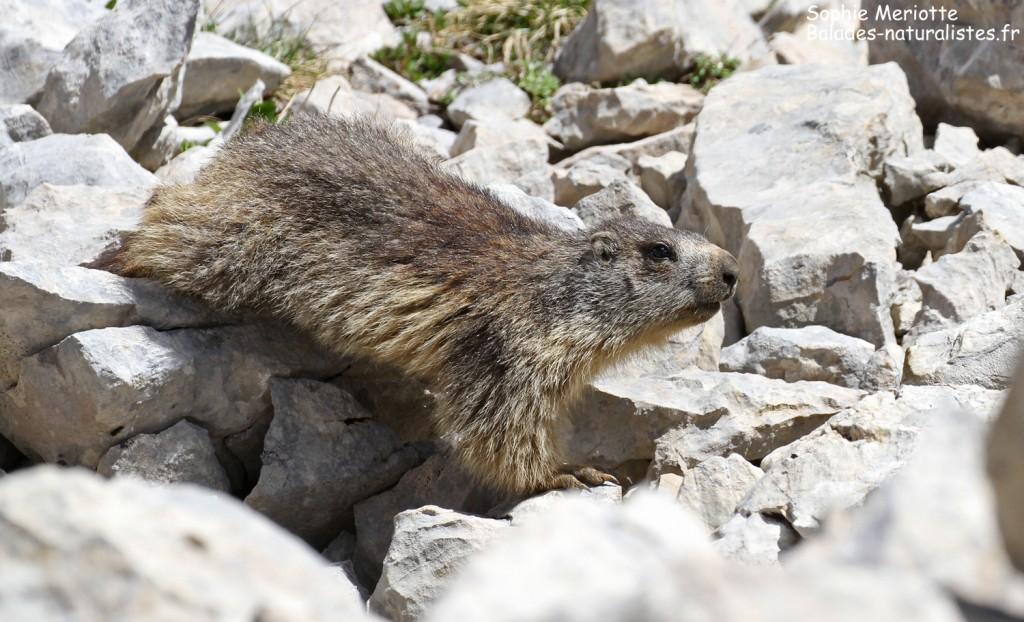 Marmotte près du col des deux soeurs