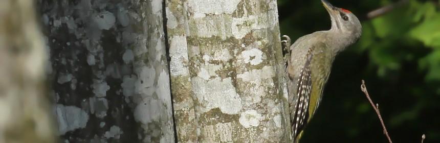 Pic cendré dans la forêt humide près de Budy